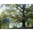 Suwanee: Big tree at Sims Lake Park