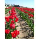 Mount Vernon: The Tulip Festival in Mount Vernon