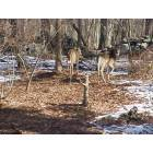 Pound Ridge: White tailed deer in backyard, Pound Ridge, NY