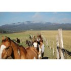 West Yellowstone: Horses being wrangled on the Diamond P Ranch near West Yellowstone, Montana