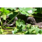 Sebring: baby otters by a creek in Sebring