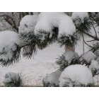 Altamont: Snow Fall in Altamont on the pines