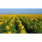Dixon: Dixon Sunflower crop