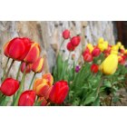 Clark Fork: Tulips at Meriwether Inn
