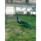Benavides: Peacocks in my front yard...So country, we have them instead of roosters.
