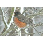 Hampton: Backyard Robin