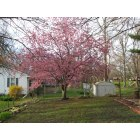 Carrollton: Apple tree in the spring