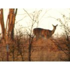 Branch: deer in branch AR.