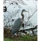 Swannanoa: Blue Heron Frequents Owen Park Ponds and Swannanoa River in Swannanoa NC