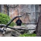 St. Louis: : Is he watching us-Gorilla at the St Louis Zoo 6-09