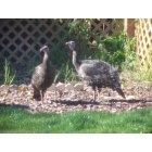 Bay Point: Wild Turkeys in My Back Yard