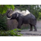 St. Louis: Elephant Dusting Off at St Louis Zoo