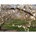 Ripon: Almond Blossoms near Ripon