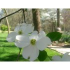 Springdale: Dogwood Flower in my yard.