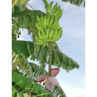 St. Pete Beach: Bananas: A popular plant of St Pete Beach
