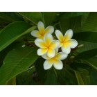 St. Pete Beach: Frangipani