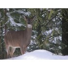 Naples: beautiful deer in naples idaho