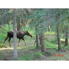 Kenai: Side Yard Moose