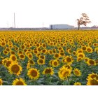 Salina: Sunflower Field by Kansas State University-Salina