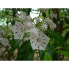 Soddy-Daisy: mountain laurel in the woods along the creek in soddy daisy