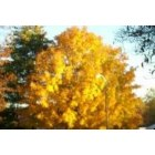 Jamestown: agolding tree in the fall is like a full ray of sun