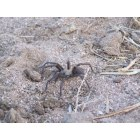 California City: Tarantula