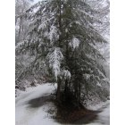 Sylva: one of many winter cedars