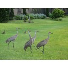 Oviedo: A family of Sand Hill Cranes