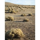 Chino Valley: Field of Tumbleweed, Chino Valley AZ