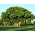 Coral Gables: Tree on Granada Golf Course
