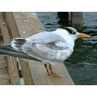 Sanibel: A Tern