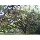 Chipley: One of Chipleys beautiful trees
