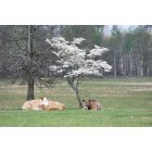 Elkmont: Cows relaxing