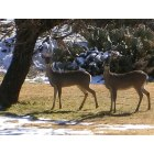Buffalo Gap: Deer at the Van Zandt's