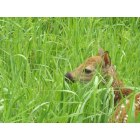 Farwell: Fawn in the field outside of Farwell