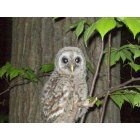Farwell: I was driving by and seen this Owl sitting in the tree's I just happend to have my camera