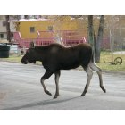 Kemmerer: Moose calf wandering through town, near Archie Neill Park