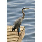 Portage Lakes: Heron on East Reservoir