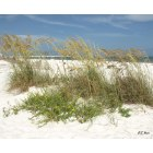 Orange Beach: Sea Oats at Orange Beach
