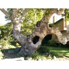 San Luis Obispo: Beautiful Old Sycamore