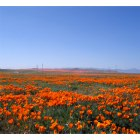 Lancaster: The poppy fields, Lancaster, CA.