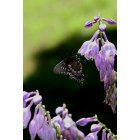 Dover Plains: Butterfly in Dover Plains, New York