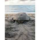Highland Beach: Mama Green Sea Turtle returning to the sea just after covering her nest of eggs!