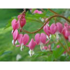 Elizabethtown: Bleeding Hearts - Taken on the porch at a friends house on Stone Mill Drive.