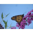 Elizabethtown: Butterfly - Photo taken in the backyard of a neighbor's home on Stone Mill Drive.