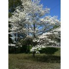 Carthage: my dogwood tree in full bloom