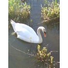 Fall River: Swan in the river