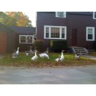 Rowley: My neighbor's geese out for a walk