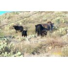 Yarnell: Roamin' Cattle